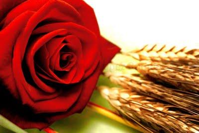 Una rosa para Sant Jordi