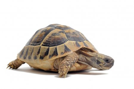 depositphotos_5867669-stock-photo-tortoise